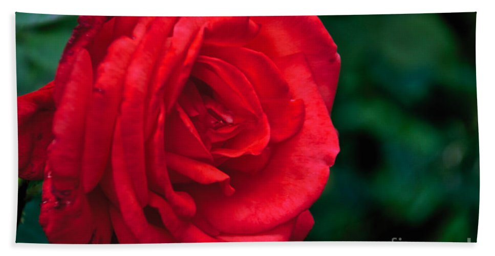 Red Rose Beach Towel featuring the photograph Red Rose Profile by William Norton