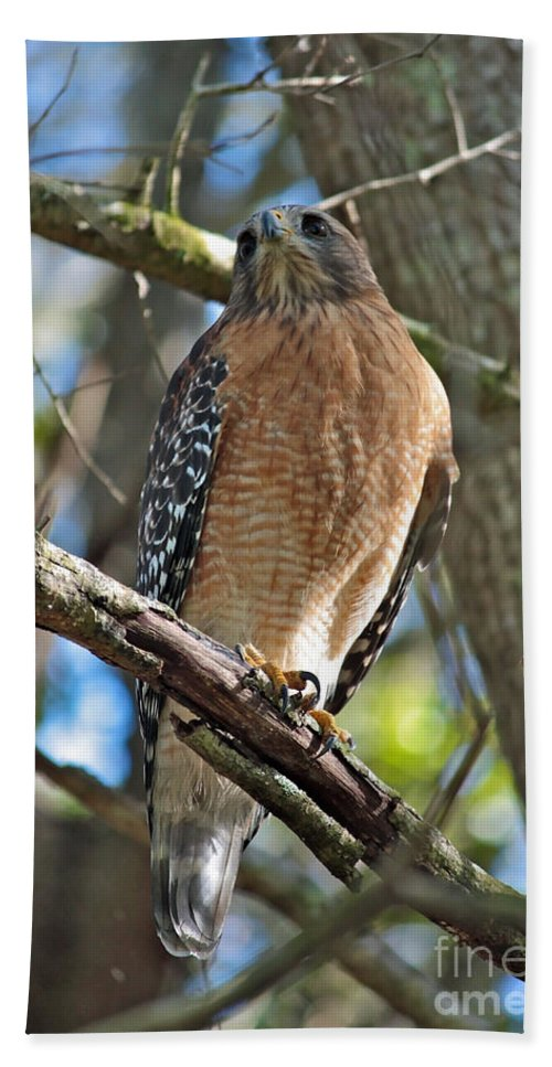 Hawk Beach Towel featuring the photograph Red-shouldered Hawk On Branch by Carol Groenen
