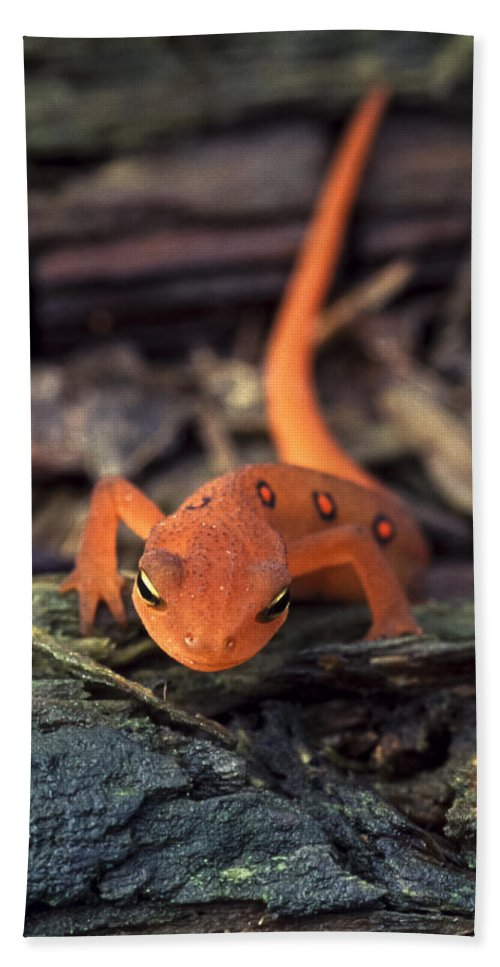 Red Beach Towel featuring the photograph Red Spotted Newt by Richard Kitchen