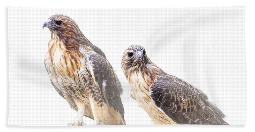 Art Beach Towel featuring the photograph Red Tail Hawk Pair On White Background by Randall Nyhof