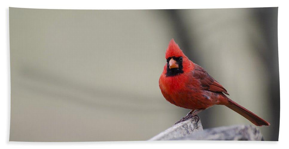 Cardinal Beach Towel featuring the photograph Redbird by Heather Applegate