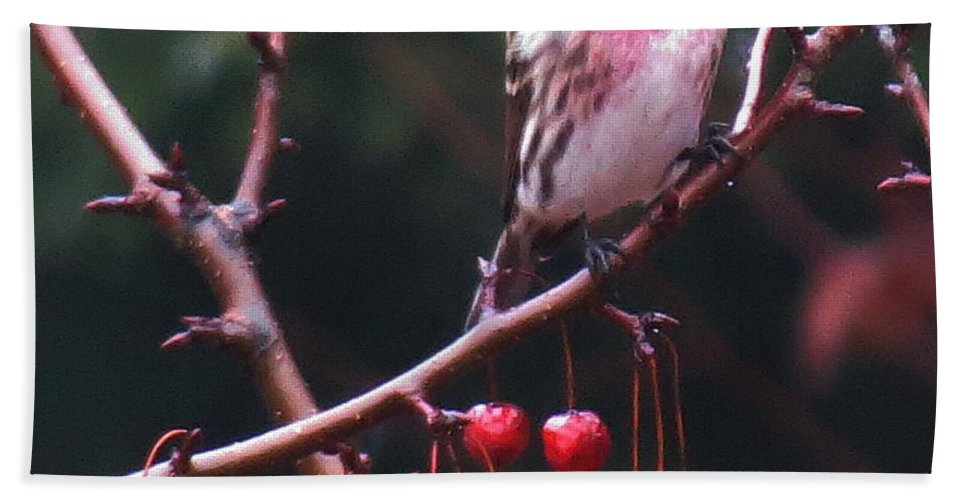 Bird Beach Towel featuring the photograph Redpoll On Crabapple Tree by MTBobbins Photography