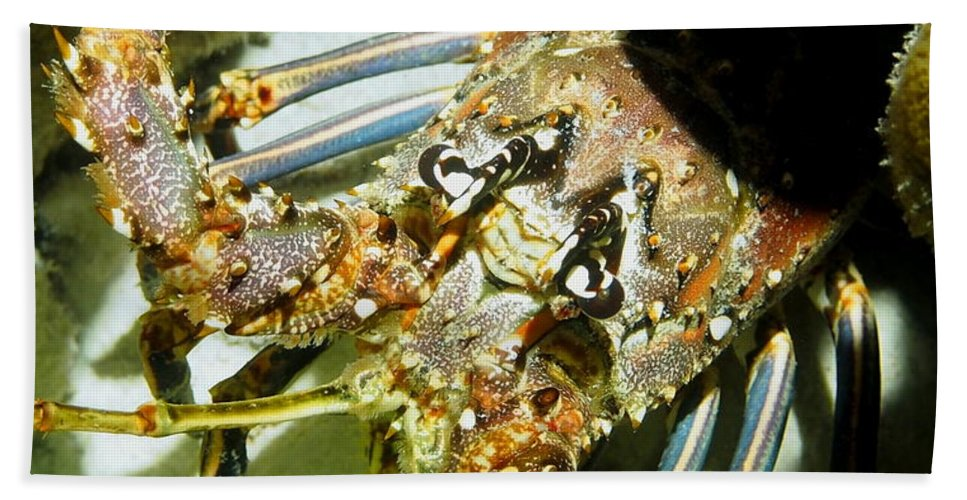 Nature Beach Towel featuring the photograph Reef Lobster Close Up Spotlight by Amy McDaniel