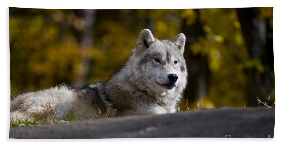 Arctic Wolf Photography Beach Towel featuring the photograph Resting Arctic Wolf On Rocks by Wolves Only