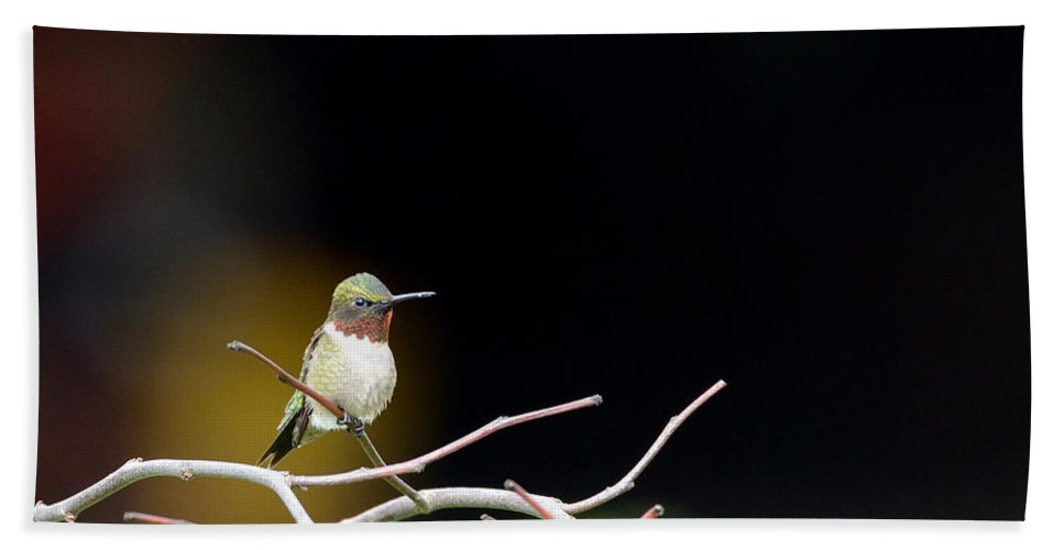Ruby-throated Hummingbird Beach Towel featuring the photograph Resting Ruby by Ian Ashbaugh