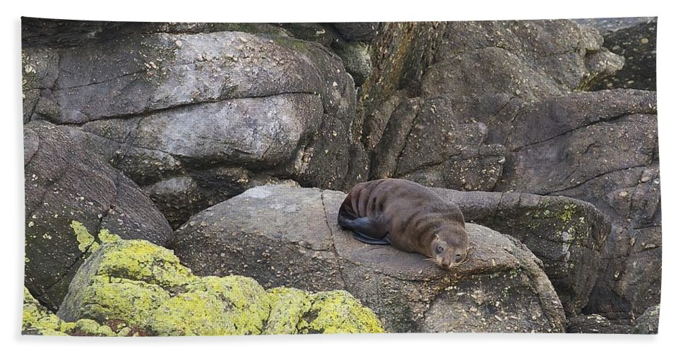 New Zealand Beach Towel featuring the photograph Resting Seal by Stuart Litoff