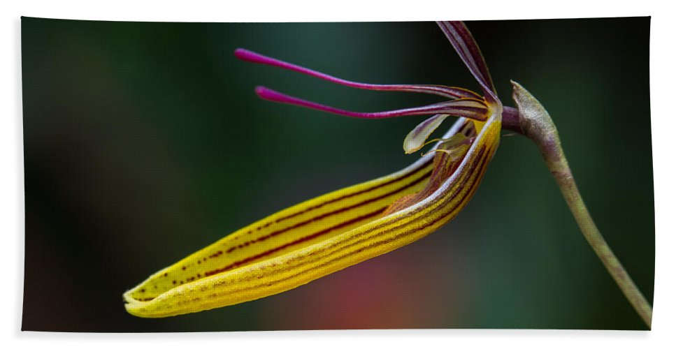 Restrepias Beach Towel featuring the photograph Restrepias Orchid by Dale Kincaid