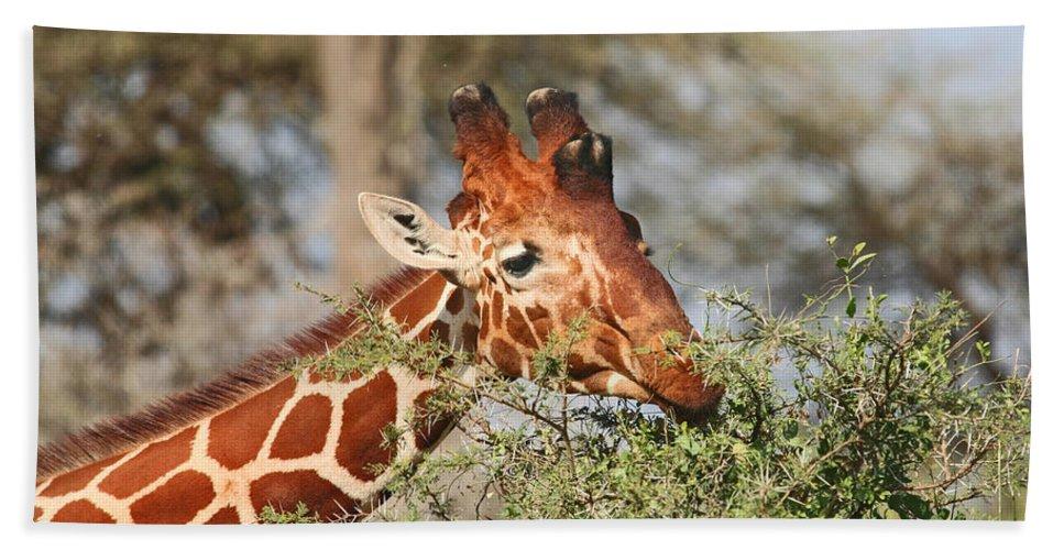 Reticulated Giraffe Beach Towel featuring the photograph Reticulated Giraffe Browsing Acacia Kenya by Liz Leyden
