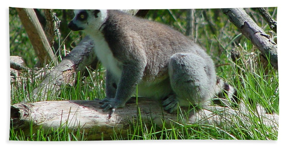 Ring Tailed Lemur Beach Towel featuring the photograph Ring Tailed Lemur by Gary Gingrich Galleries