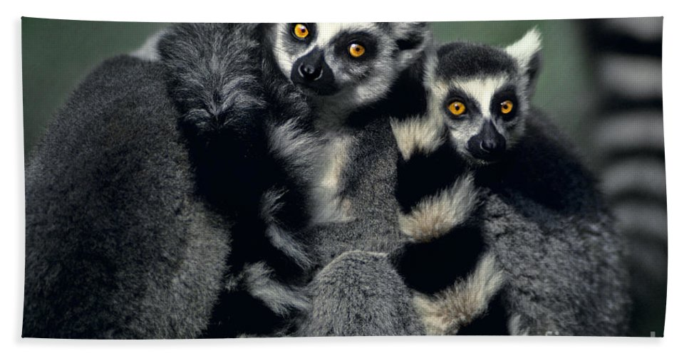 Africa Beach Towel featuring the photograph Ringtailed Lemurs Portrait Endangered Wildlife by Dave Welling