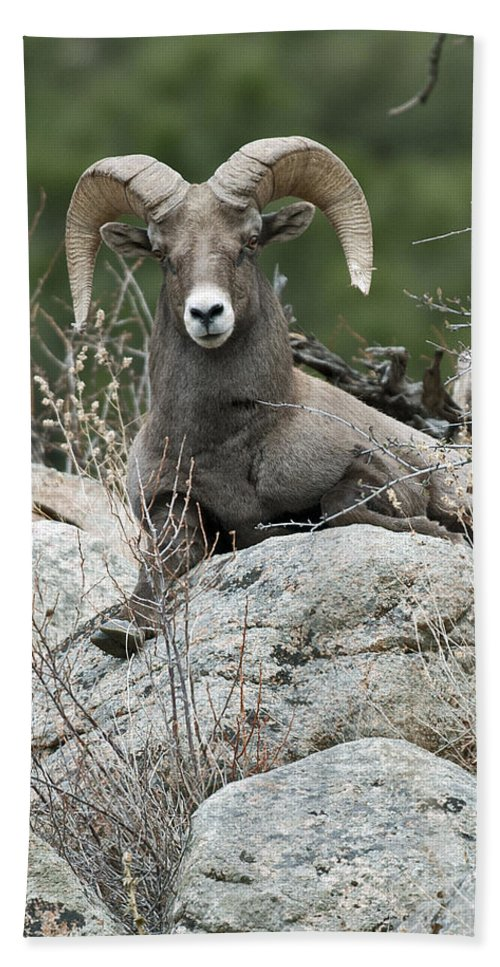 Rocky Mountain Big Horn Beach Towel featuring the photograph Rocky Mountain Big Horn by Gary Langley