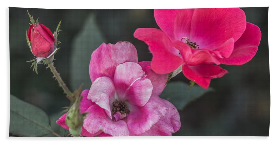 Flower Beach Towel featuring the photograph Roses by Jane Luxton