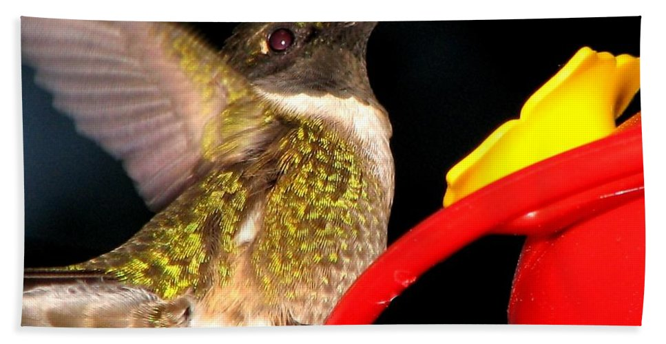 Ruby-throated Hummingbird Beach Towel featuring the photograph Ruby-throated Hummingbird Landing On Feeder by Rose Santuci-Sofranko