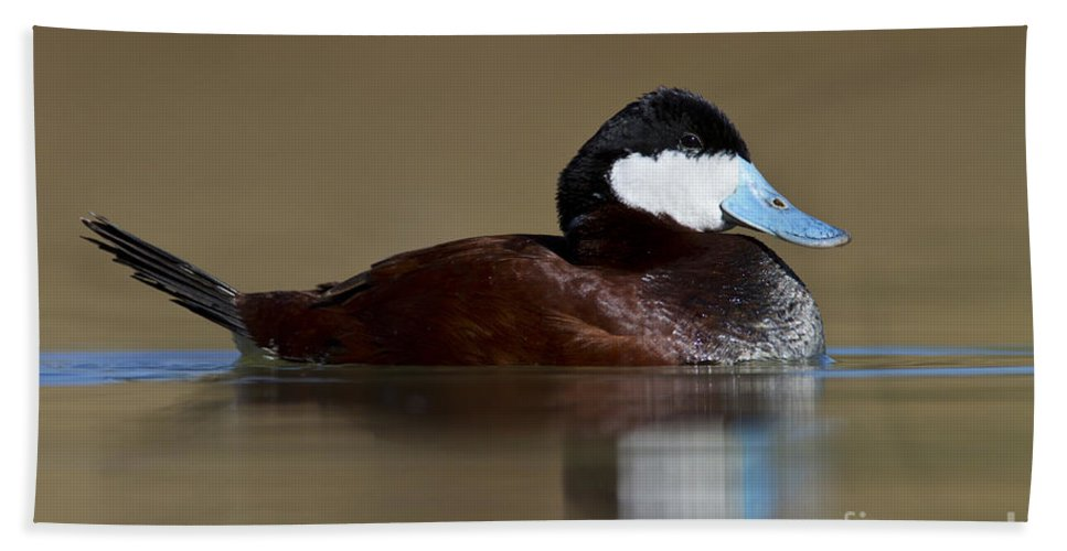 Ruddy Duck Beach Towel featuring the photograph Ruddy Duck On Still Pond by Bryan Keil