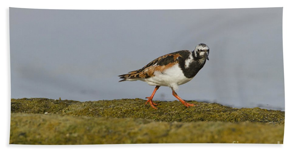 Sea Bird Beach Towel featuring the photograph Ruddy Turnstone Arenaria Interpres by Eyal Bartov