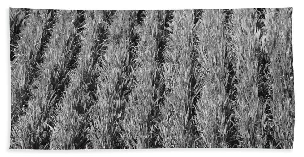 Black And White Cornfield Beach Towel featuring the photograph Rural America Black And White by Dan Sproul