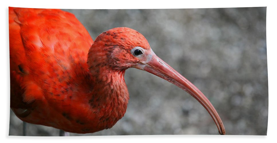 Ibis Beach Towel featuring the photograph Scarlet Ibis by Karol Livote