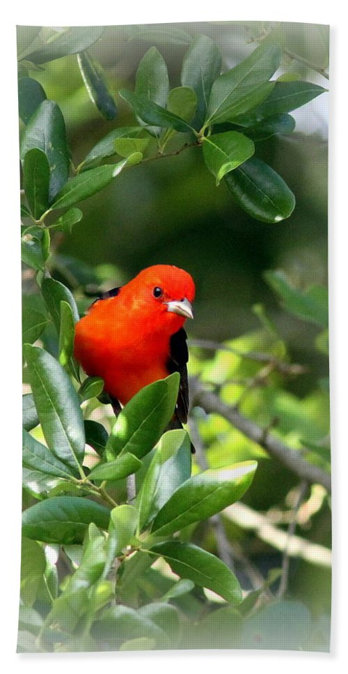 Scarlet Tanager Beach Towel featuring the photograph Scarlet Tanager by Travis Truelove