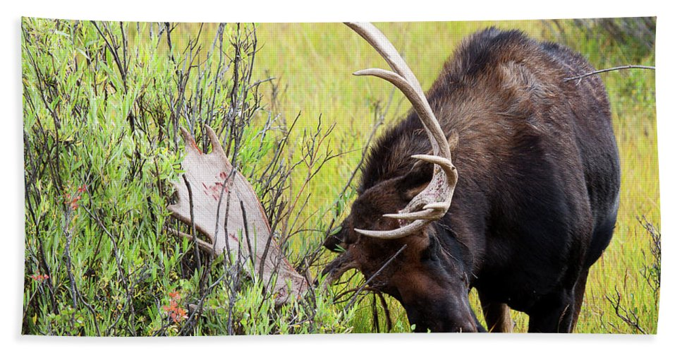 Moose Beach Towel featuring the photograph Scratching The Surface by Jim Garrison