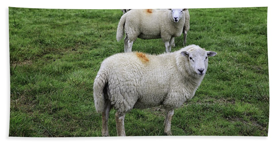 Wales Beach Towel featuring the photograph Sheep On Parade by Fran Gallogly