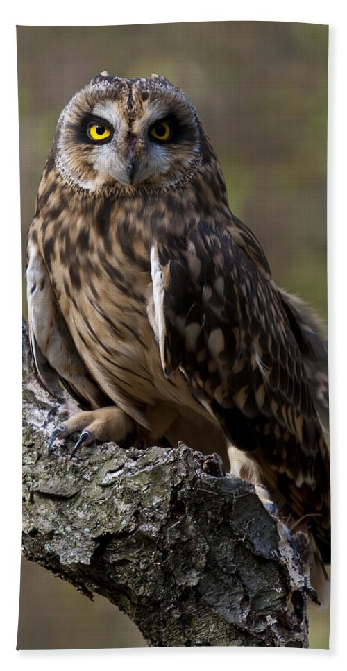 Short-eared Beach Towel featuring the photograph Short-eared Owl Asio Flammenus by Paul Cannon