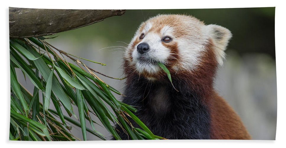 Critters Beach Towel featuring the photograph Shrinking Red Panda by Greg Nyquist