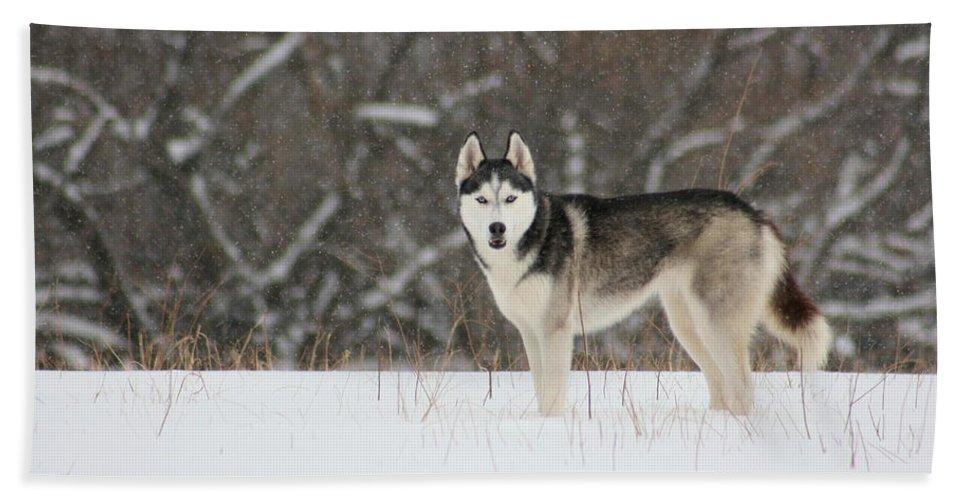 Landscape Beach Towel featuring the photograph Siberian Husky 20 by David Dunham