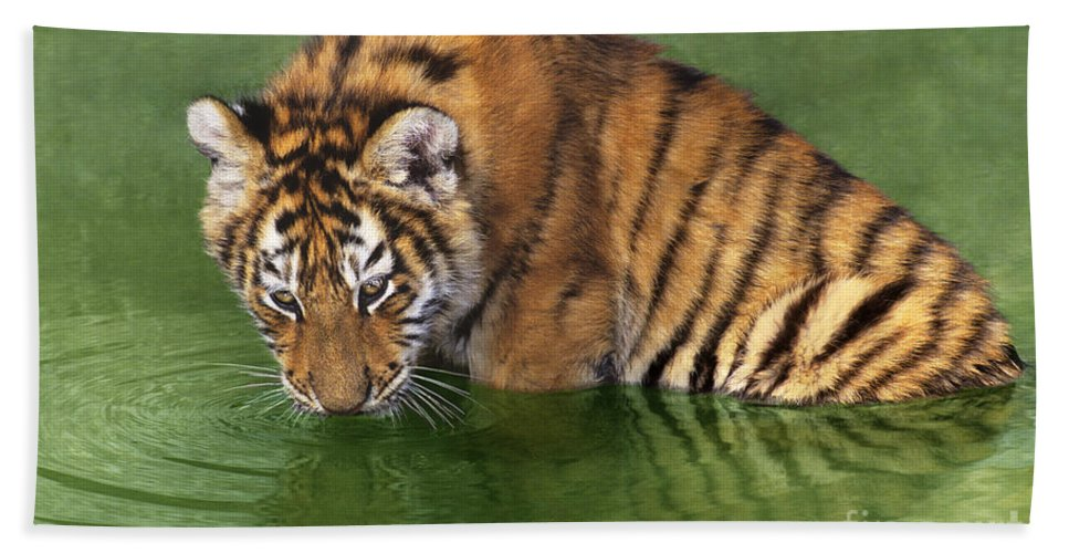 Siberian Tiger Beach Towel featuring the photograph Siberian Tiger Cub In Pond Endangered Species Wildlife Rescue by Dave Welling