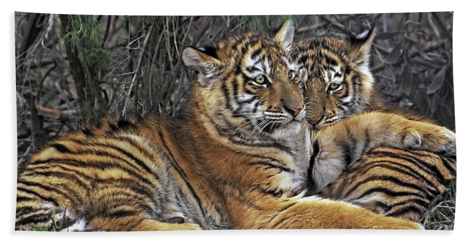 Siberian Tiger Beach Towel featuring the photograph Siberian Tiger Cubs Endangered Species Wildlife Rescue by Dave Welling