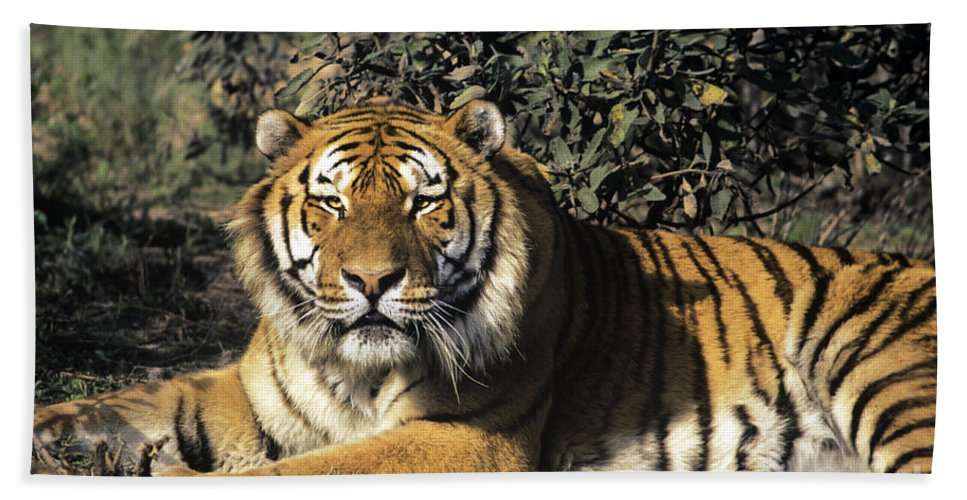Siberina Tiger Beach Towel featuring the photograph Siberian Tiger Endangered Species Wildlife Rescue by Dave Welling