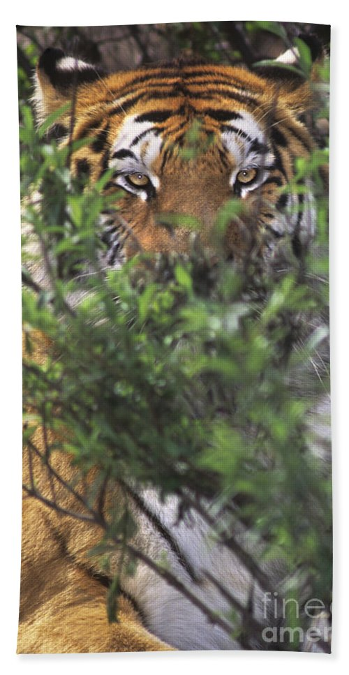 Siberian Tiger Beach Towel featuring the photograph Siberian Tiger In Hiding Wildlife Rescue by Dave Welling