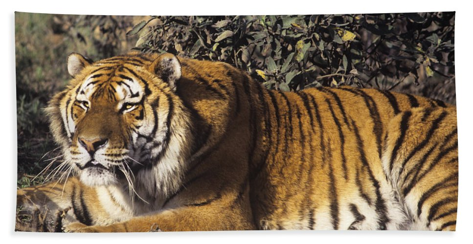 Siberian Tiger Beach Towel featuring the photograph Siberian Tiger Stalking Endangered Species Wildlife Rescue by Dave Welling