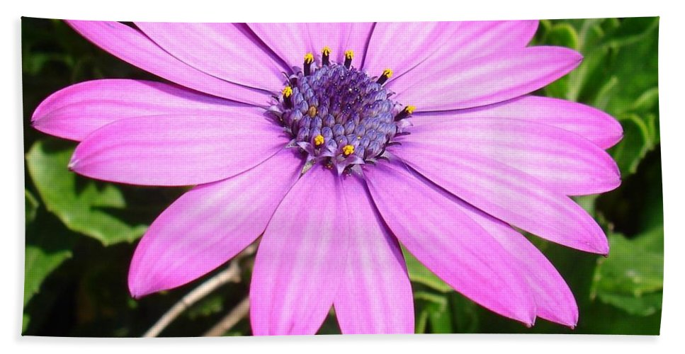 Birthday Beach Towel featuring the photograph Single Pink African Daisy Against Green Foliage by Tracey Harrington-Simpson
