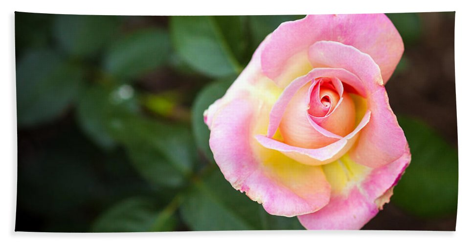 Bumble Bee Beach Towel featuring the photograph Single Pink Rose by Sennie Pierson