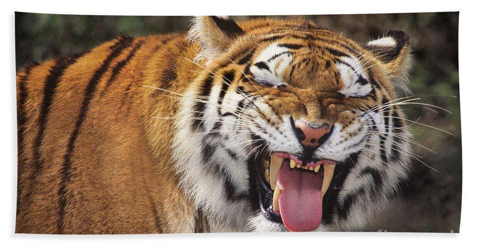 Siberian Tiger Beach Towel featuring the photograph Smiling Tiger Endangered Species Wildlife Rescue by Dave Welling