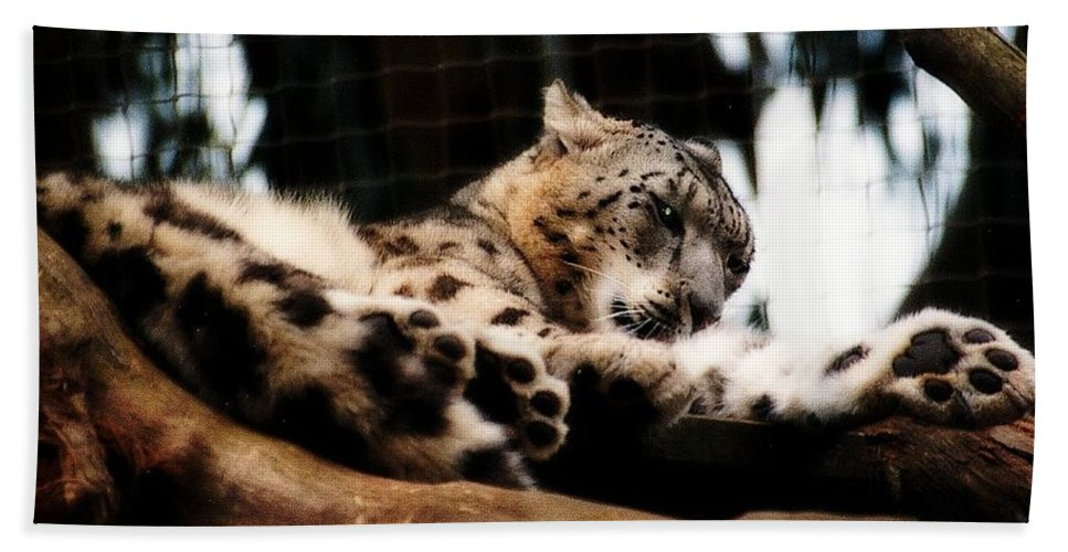 Wildcat Beach Towel featuring the photograph Snow Leopard by Elaine Burlew