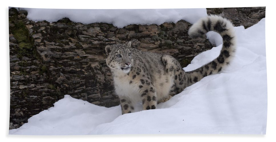 Snow Leopard Beach Towel featuring the photograph Snow Leopard by Sandra Bronstein