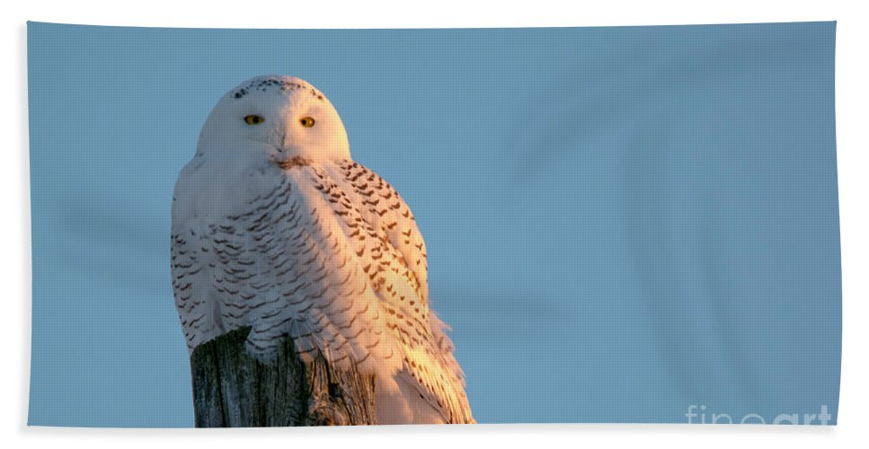 Field Beach Towel featuring the photograph Snowy In The Sun by Cheryl Baxter