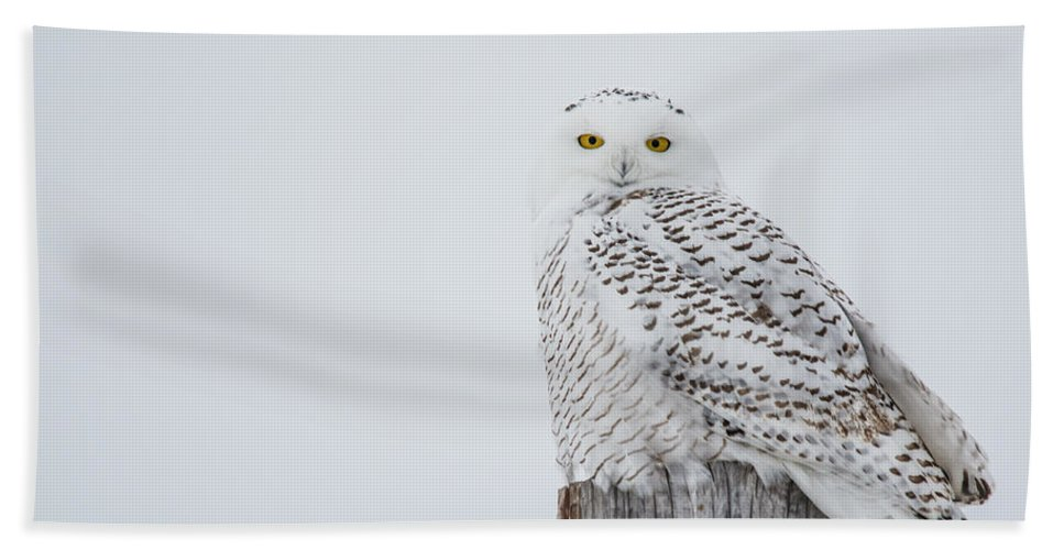Snowy Owl Beach Towel featuring the photograph Snowy Owl Perfection by Cheryl Baxter