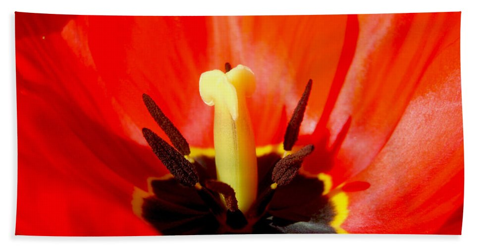 Red Tulip Beach Towel featuring the photograph Red Tulip In Spring by Nina Ficur Feenan