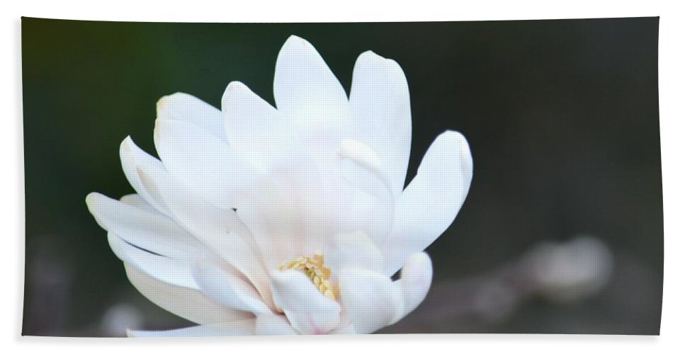 Star Magnolia Bloom Beach Towel featuring the photograph Star Magnolia Bloom by Maria Urso