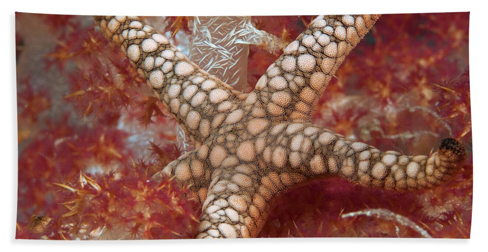 Starfish Beach Towel featuring the photograph Starfish In Soft Coral by Dianne Phelps