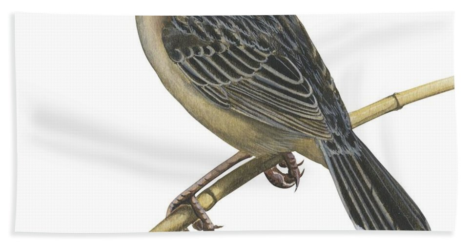 No People; Square Image; Full Length; White Background; One Animal; Wildlife; Close Up; Illustration And Painting; Bird; Perching; Branch; Beak; Wing; Feather; Tail; Zoology; Stout Cisticola; Cisticola Robusta Beach Towel featuring the drawing Stout Cisticola by Anonymous