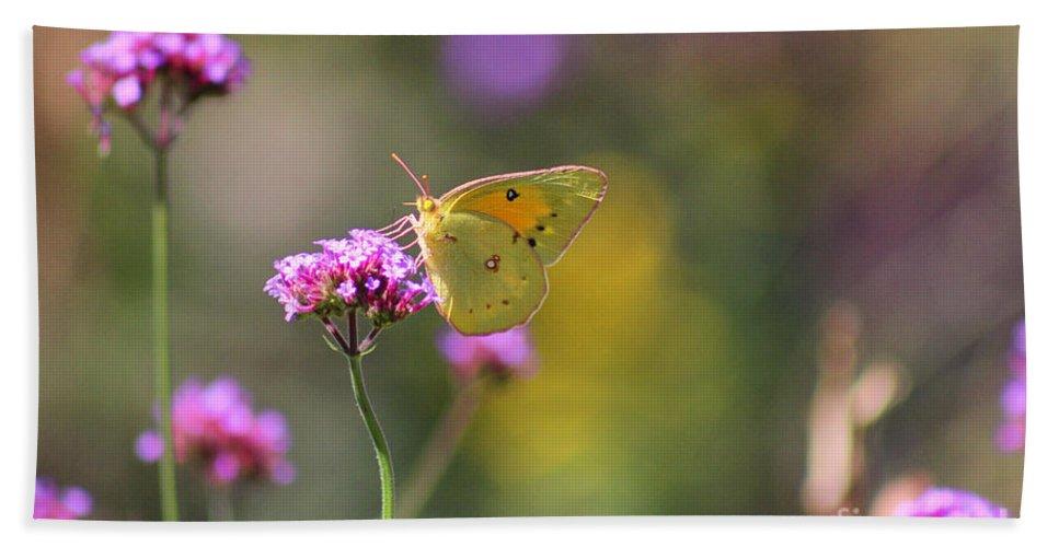 Lepidoptera Beach Towel featuring the photograph Sulphur Butterfly On Verbena Flower by Karen Adams