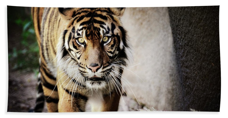 Sumatran Tiger Beach Towel featuring the photograph Sumatran Tiger by Saija Lehtonen