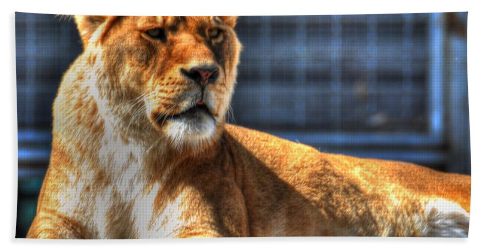 Lion Beach Towel featuring the photograph Sunbathing Lioness by Michael Frank Jr