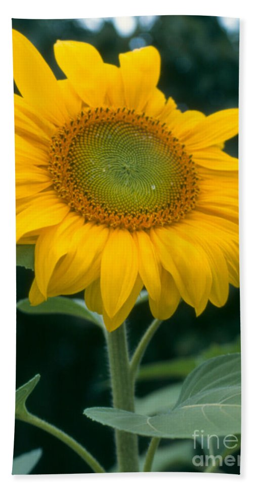 Flower Beach Sheet featuring the photograph Sunflower In Seattle by Heather Kirk