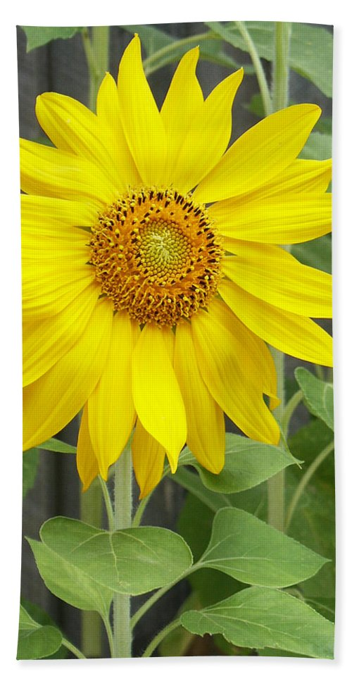 Helianthus Annuus Beach Towel featuring the photograph Sunflower by Lisa Phillips