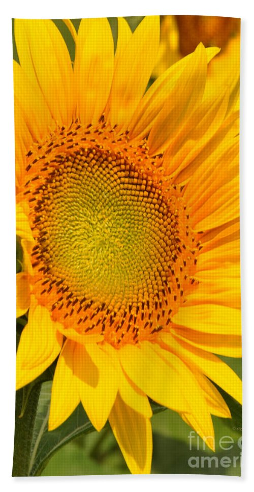Sunflower Beach Towel featuring the photograph Sunkissed Sunflower by Regina Geoghan