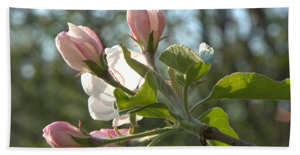Blossoms Beach Towel featuring the photograph Sunlit Apple Blossoms by Valerie Kirkwood